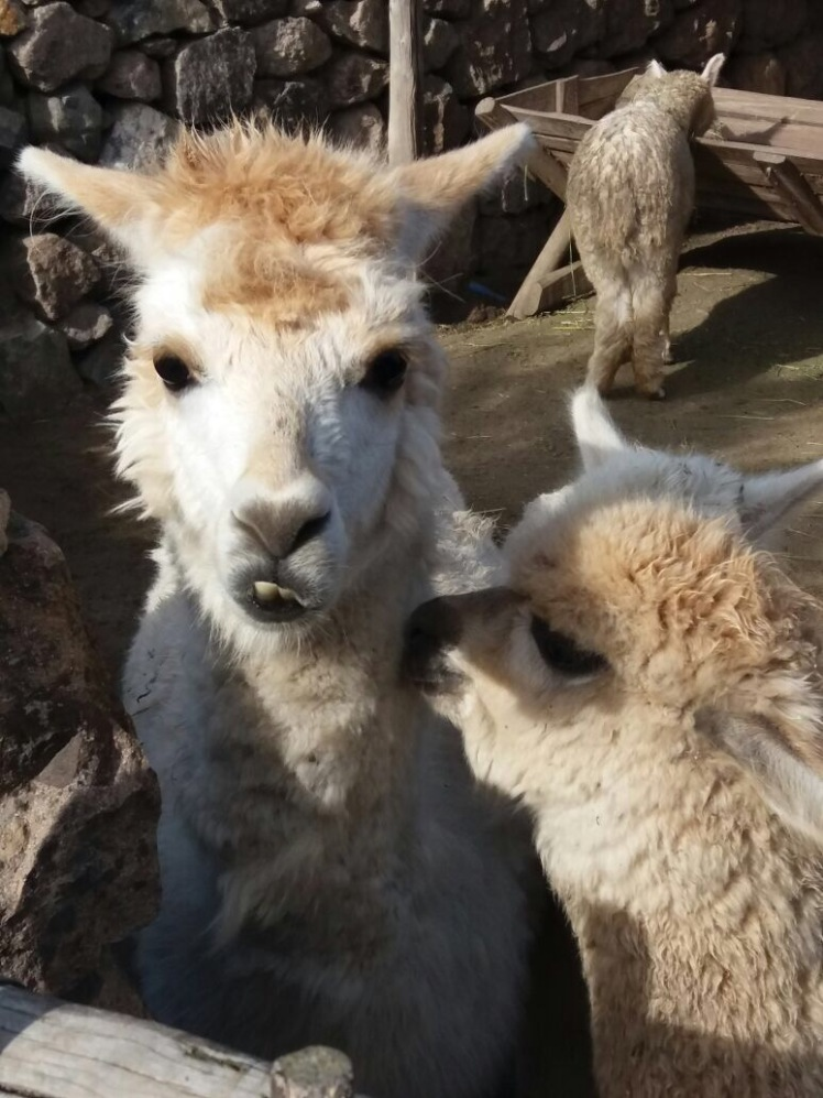 As Alpacas da Viña Emiliana - Valle de Casablanca